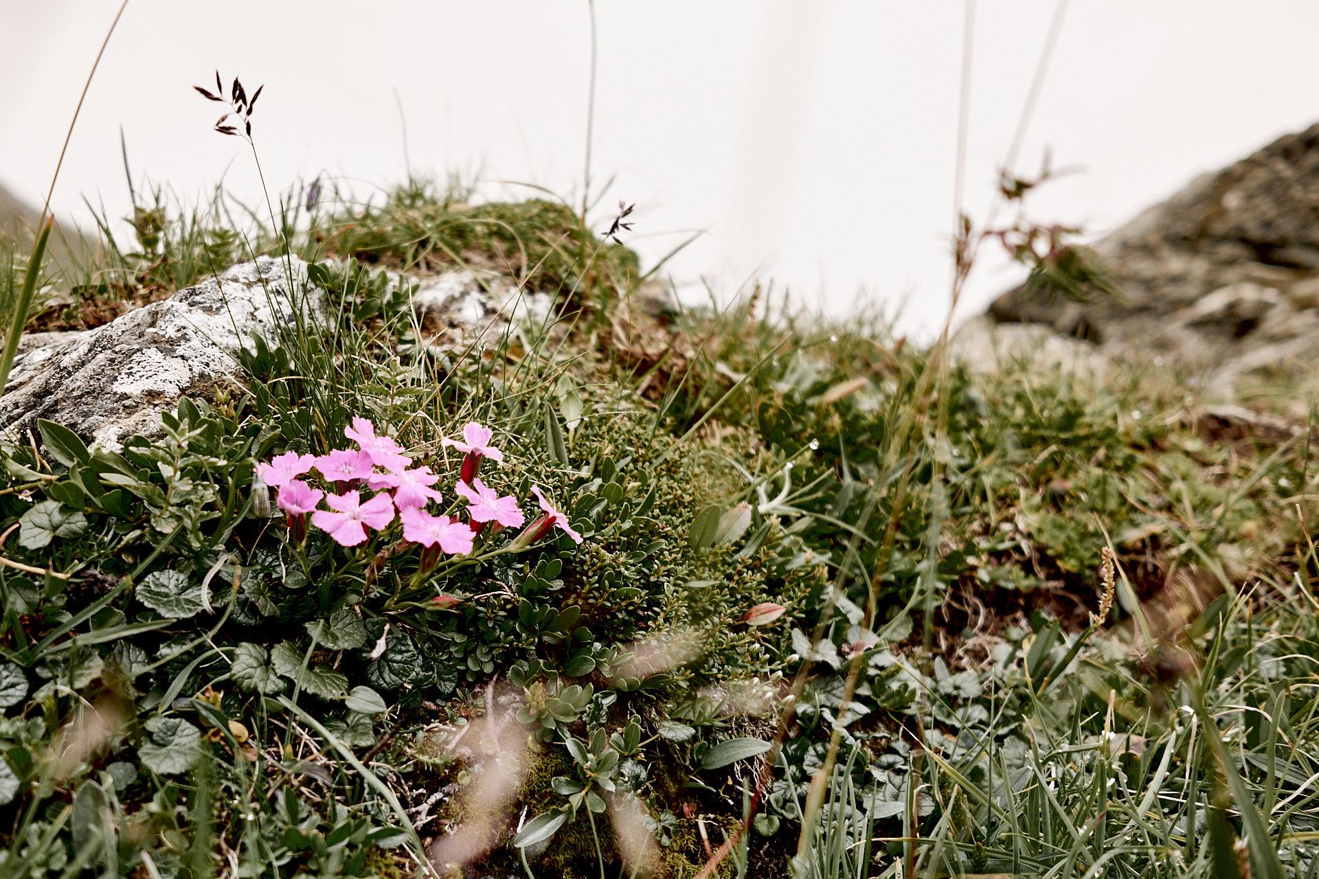 Blümchen in den Alpen