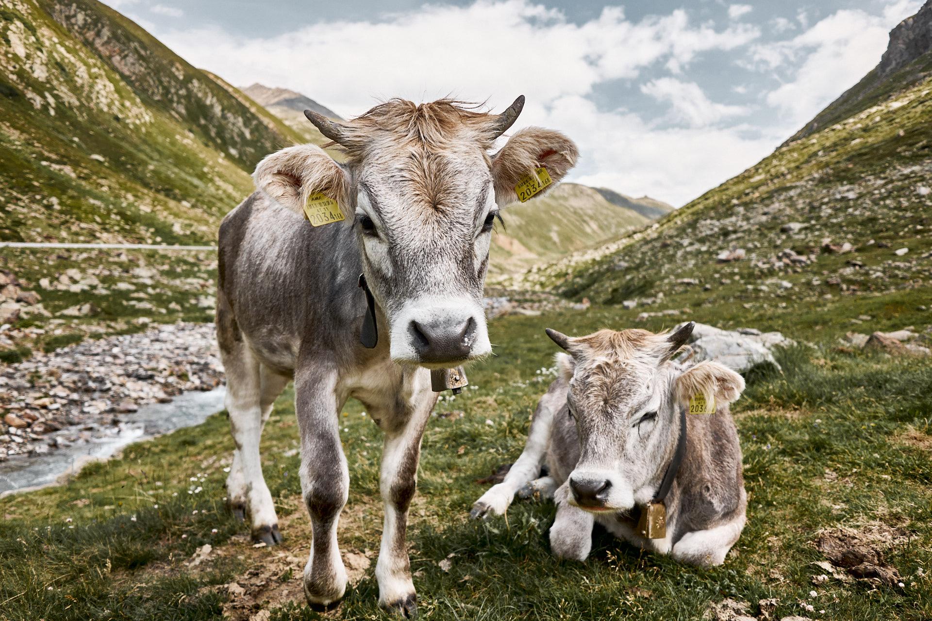 Kühe, Rinder am Timmelsjoch