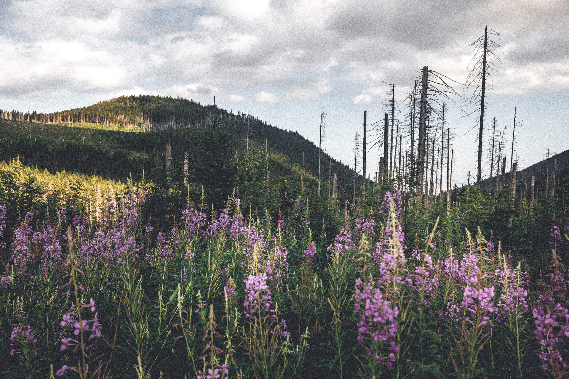 Sich regenerierender Wald in der Hohen Tatra
