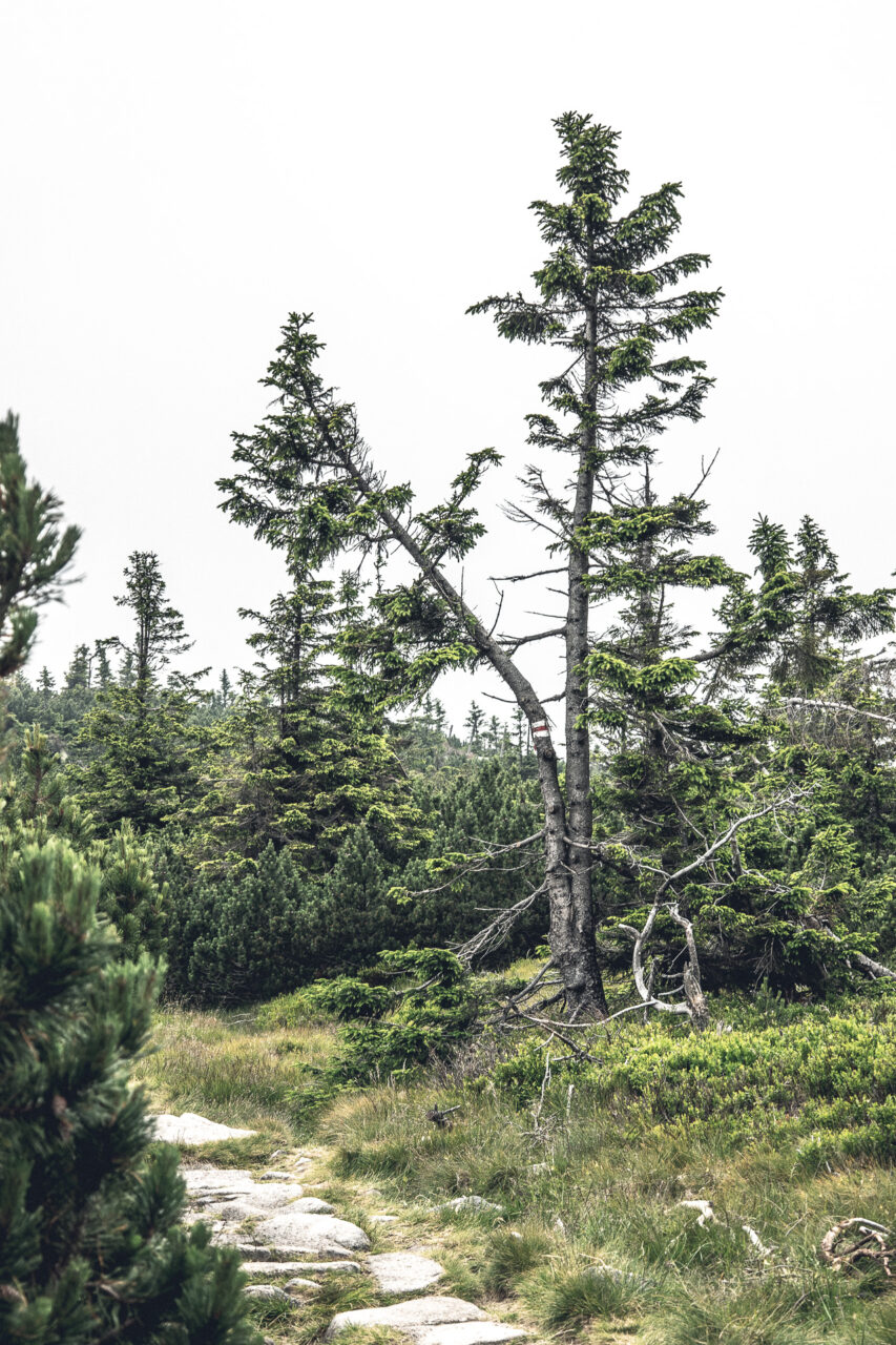 Vegetation, Riesengebirge