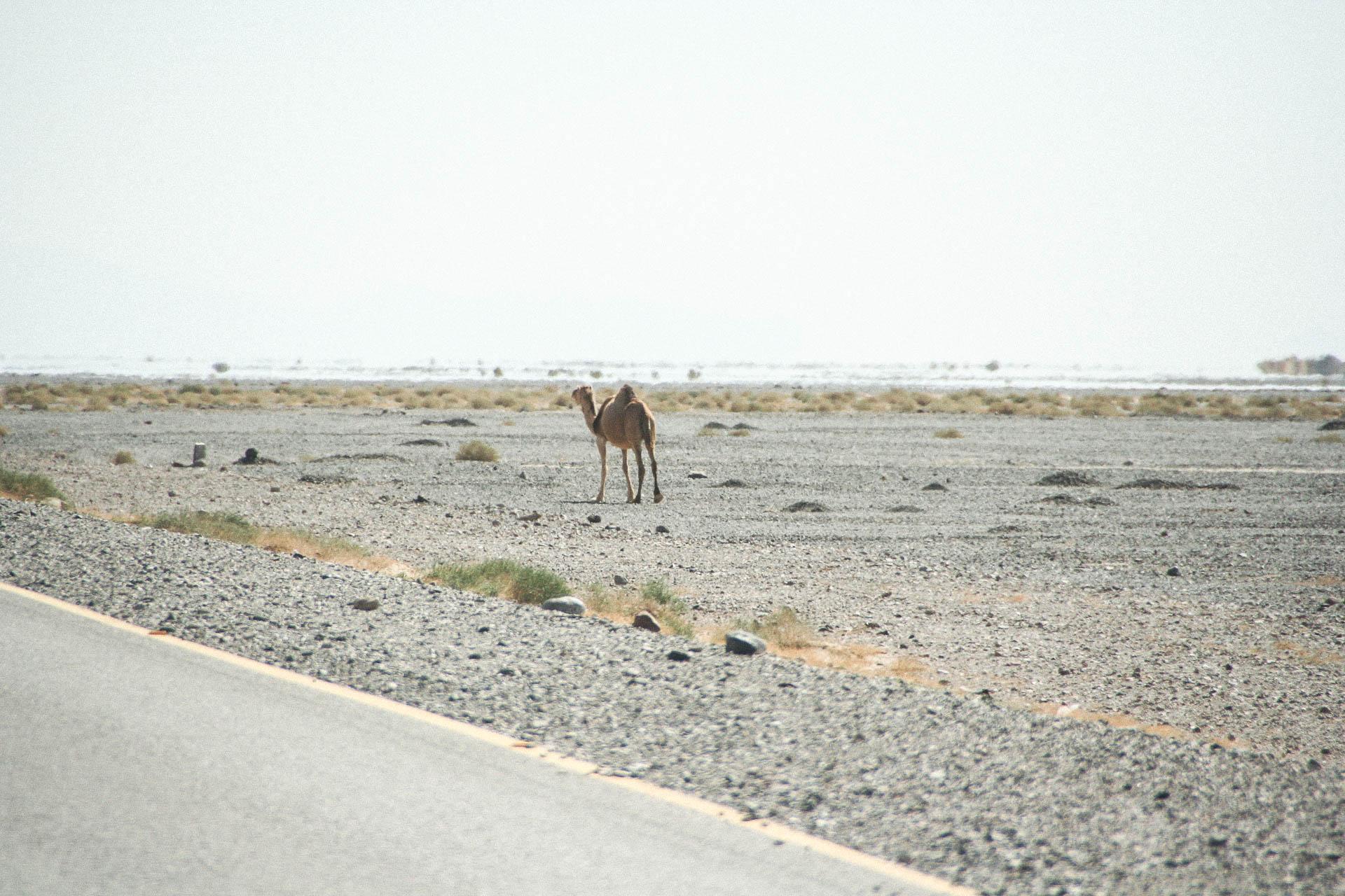 Kamel am Strassenrand