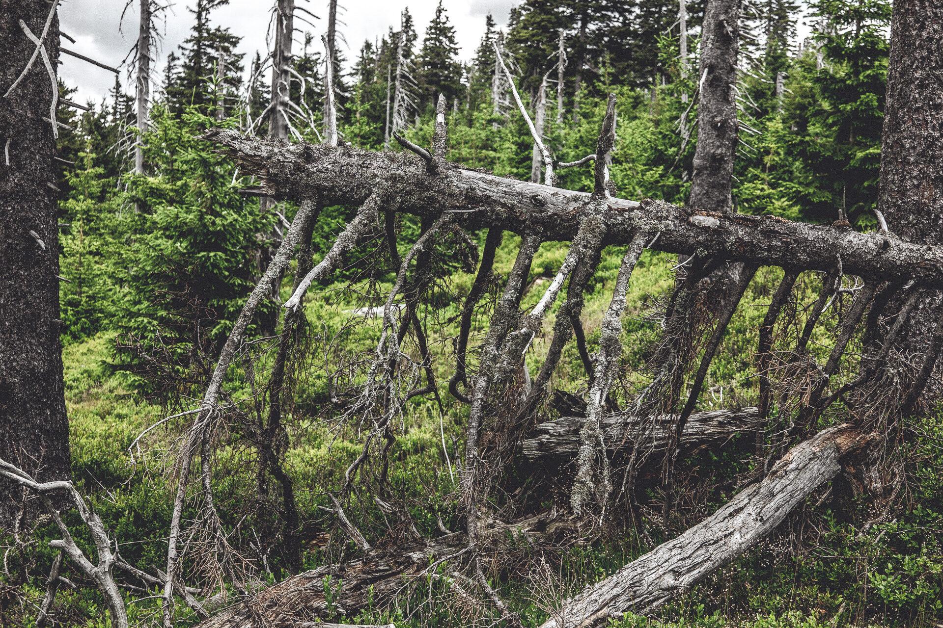 ... mit abgestorbenen Bäumen