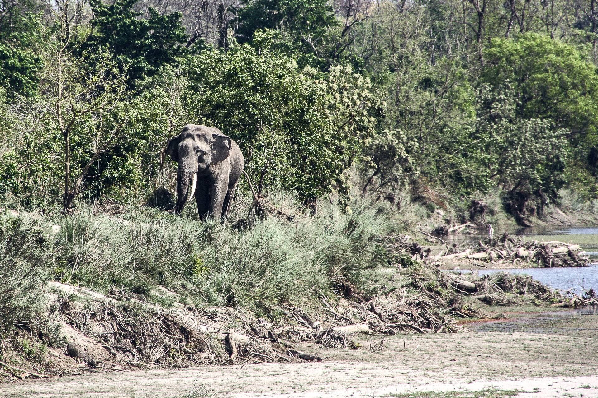 Elefant im Bardia NP Nepal