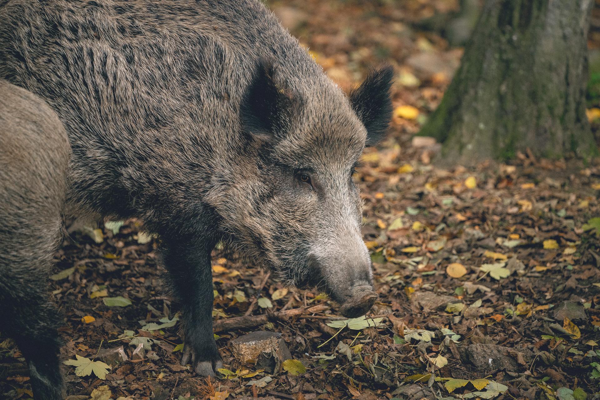Wildschwein in Moritzburg